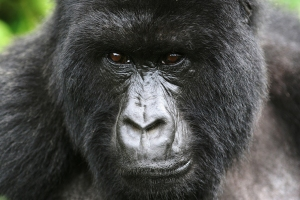 0512.gorilla.Picture-credit-Nick-Hoggett.600