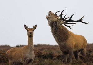 Bellowing-Stag-with-Doe
