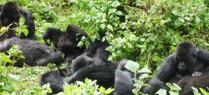 gorilla-families1