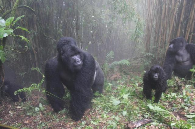 gorilla-family-virunga