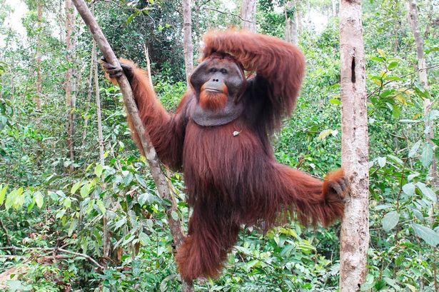 King-Orangutan