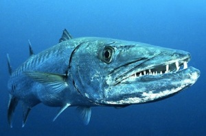 great-barracuda-fish
