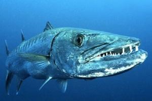 great-barracuda-fish