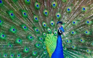 beautiful-peacock-feather-bird-images-free