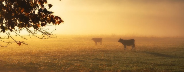 cows-in-a-foggy-field-mats-silvan