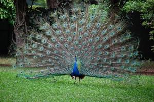 FOYBluePeacock