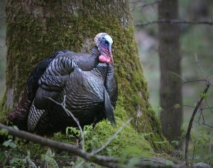 wild-turkey-great-smoky-mountains-national-park-brian-lumley